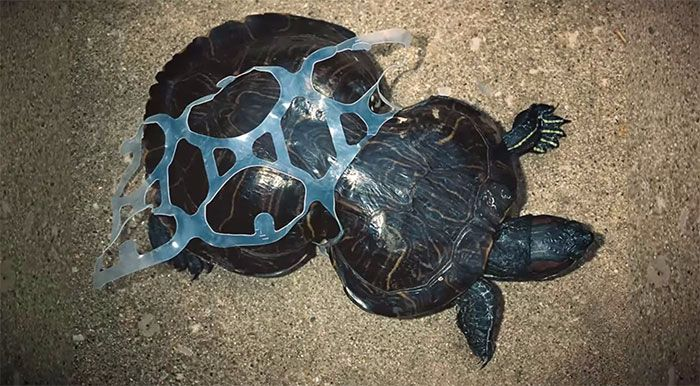 litter-turtle-with-sixpackring